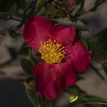 Camellia sasanqua \'Hyriu\' ¤
