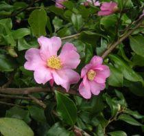 Camellia sasanqua \'Isoli\', feuillage vert persistant et jolie fleur simple rose