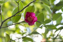 Camellia sasanqua \'Kanjiro\' ¤