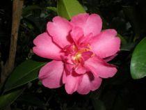 Camelia sasanqua Cherilyn, arbuste persistant vert aux fleurs de pîvoines rose vif en automne.