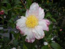 Camelia sasanqua Narumigata, arbuste persistant au feuillage vert et aux grandes fleurs simples blanches marginées de rose violine à l\'automne.