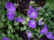 Campanula carpatica \'Bleu\'