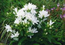 Campanula cochleariifolia \'Alba\'