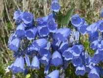 Campanula cochleariifolia \'Blue\'