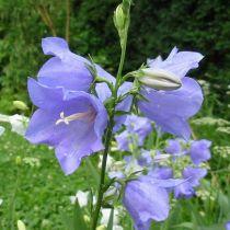 Campanula persicifolia bleu
