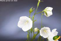 Campanula persicifolia White