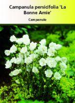 Campanula persifolia \' La Bonne Amie\'