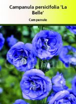 Campanula persifolia \'La Belle\'
