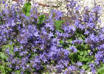 Campanula portenschlagiana \'Clockwise Deep Blue\'