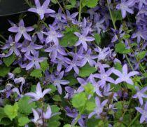 Campanula poscharskyana \'Garden Star\'