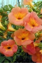 Campsis grandiflora ou bignone à fleur orange en trompette