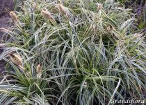 Carex \'Feather Falls\'®