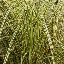 Carex brunnea \'Jenneke\'