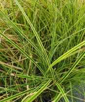Carex brunnea \'Variegata\'