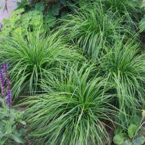 Carex caryophyllea \'The beatles\'