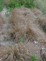 Carex flagellifera