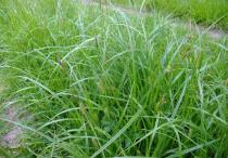 Carex Js \'Greenwell\'