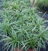 Carex morrowii \'Silver Scepter\'