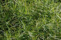 Carex muskingumensis \'Little Midge\'