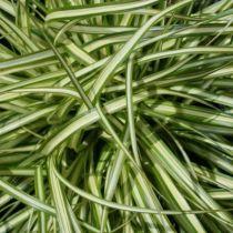 Carex oshimensis \'Evergold\' compact