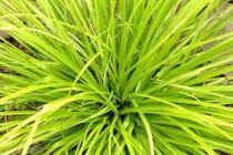 Carex oshimensis \'Everillo\'