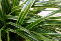 carex everlimeindex