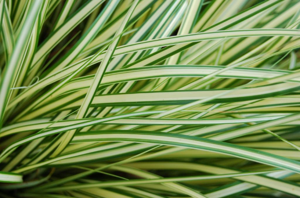 Carex oshimensis \'Eversheen\'