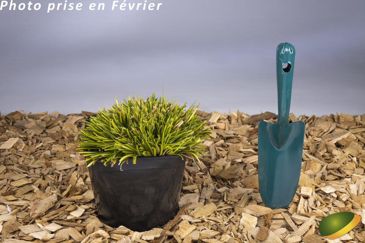 Carex oshimensis EverColor® Eversheen