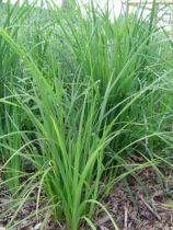 Carex_pendula_03