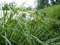 Carex pseudocyperus