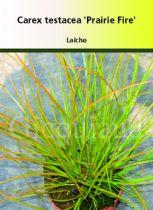 Carex testacea \'prairie Fire\'