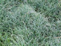 Carex x \'China blue\'