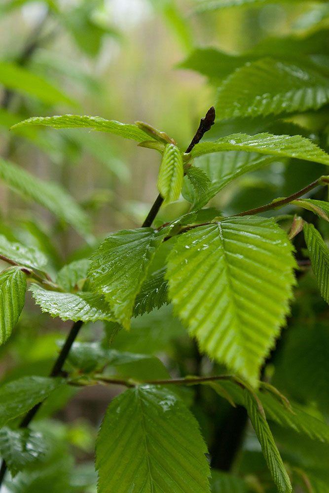 Carpinus betulus \'Fastigiata\'