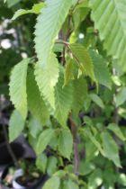 Carpinus betulus \'Frans Fontaine\'