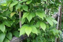 Carpinus betulus \'Lucas\'