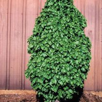 Carpinus betulus \'Monument\'