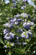 Caryopteris \'Blue Fountain\'