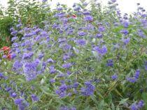 Caryopteris_x_clandonensis, arbuste caduc au feuillage vert gris et aux fleurs bleu en été, automne.