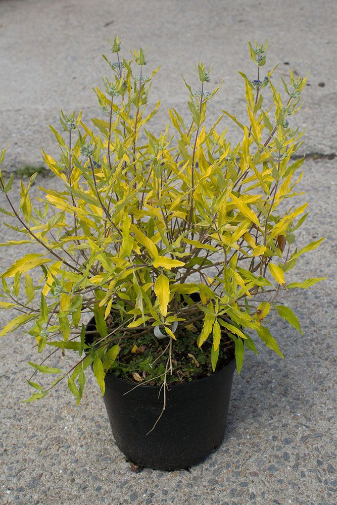 Caryopteris x clandonensis \' Worcester Gold \'