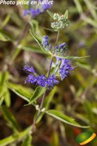 Caryopteris x clandonensis \'Heavenly Blue\'
