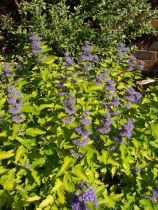 Caryopteris x clandonensis \'Hint of Gold\'