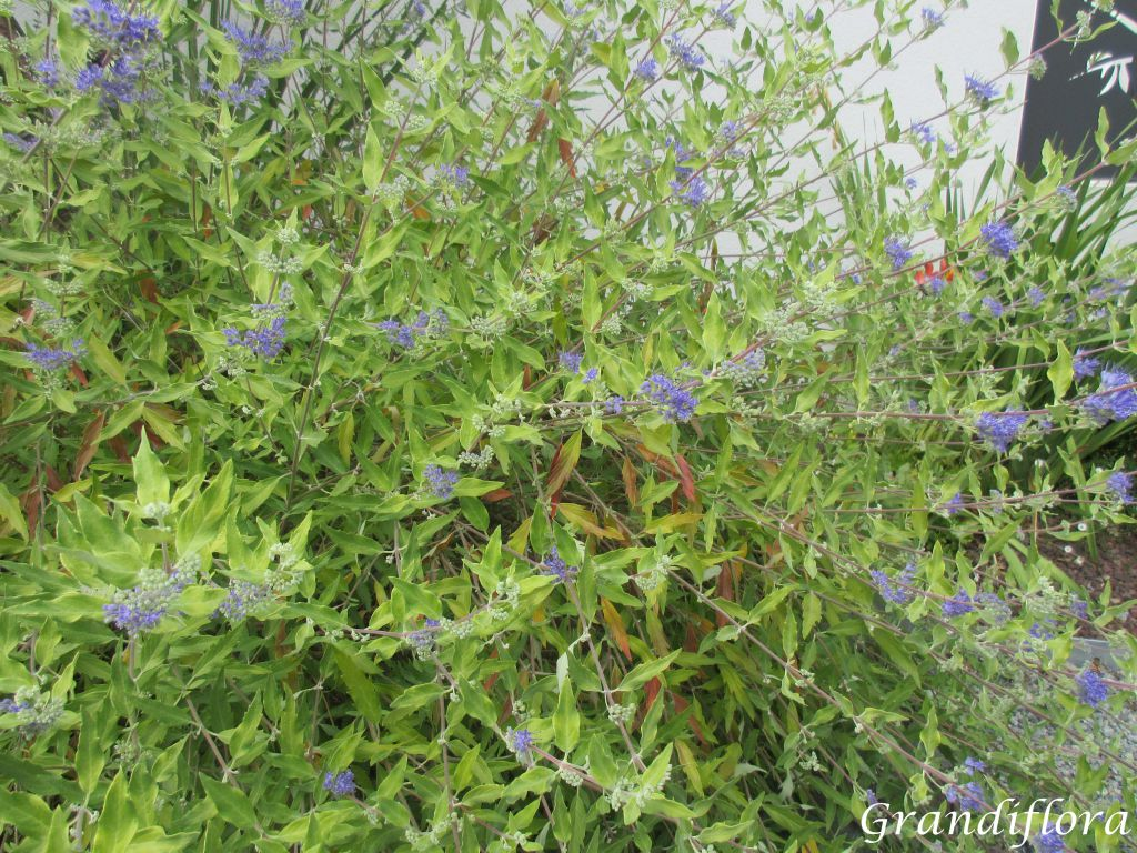 Caryopteris x clandonensis \'Worcester Gold\'