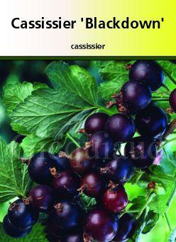 Cassissier \' Black Down \'