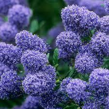 ceanothus impressus puget blue grandiflora. Black Bedroom Furniture Sets. Home Design Ideas