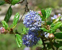 Ceanothus impressus \'Puget Blue\'