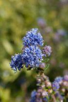 Arbuste persistant à petit feuillage vert et à floraison bleu vif au printemps, il animera vos massifs au soleil.