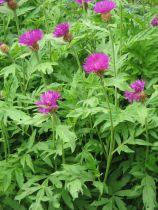 Centaurea dealbata Rose