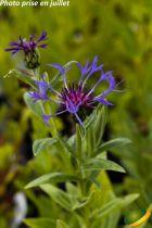 Centaurea montana bleu
