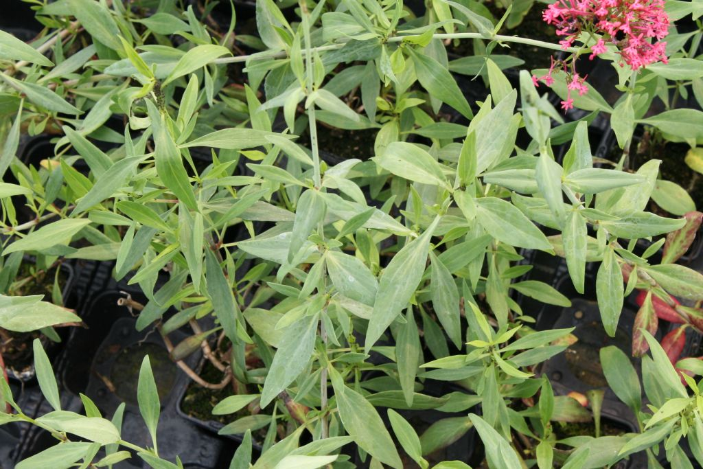 Centranthus ruber \'Coccineus\'