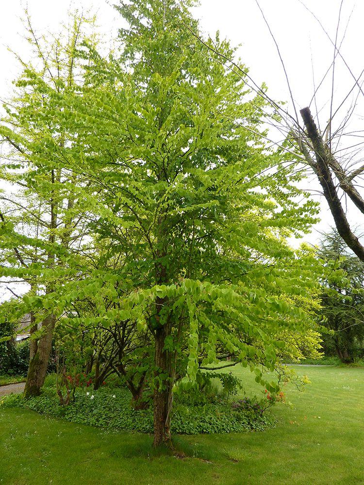 cercidiphyllum japonicum A